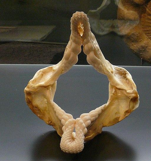 Jaws of Heterodontus portusjacksoni