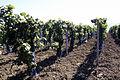 Jeunes plants Vigne Pinot Noir (Champagne) Cl.J.Weber (23595283941).jpg