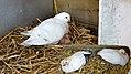 Jonge duiven 3 weken later (34487743032).jpg