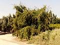 Jujube, Nizana, Western Negev, Israel שיזף, הבוסתן, ניצנה - panoramio.jpg