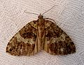 July Highflyer. Hydriomena furcata - Flickr - gailhampshire (5).jpg