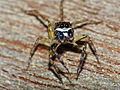 Jumping Spider (Salticidae) (15316264049).jpg