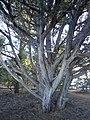 Juniperus osteosperma kz01.jpg