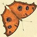Junonia almana dry season form illustration.jpg