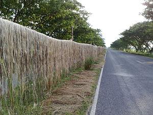 Jute - Jute fiber being dried alongside a road after retting