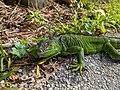 Juvenile Iguana Giving You The Eye.jpg