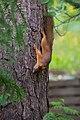Juvenile squirrel climbing Pinus sylvestris, Hyvinkää, Finland, 2017-08-01 144855.jpg