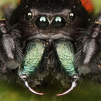 Arthropod cuticle - The fangs in spiders' chelicerae are so sclerotised as to be greatly hardened and darkened