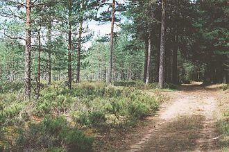 Karelian Isthmus - Forest of Pinus sylvestris with an understory of Calluna vulgaris on the Karelian Isthmus
