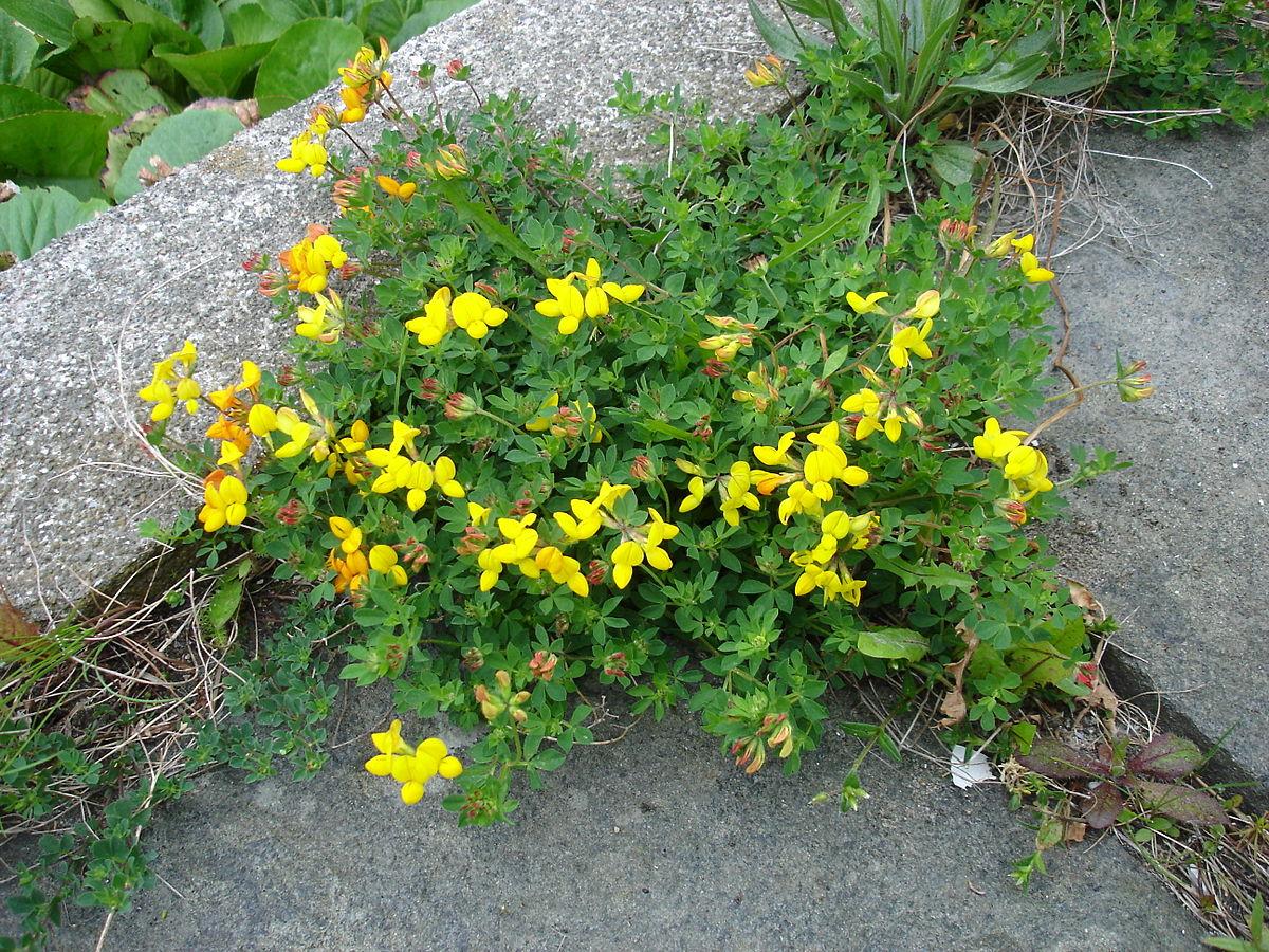 Fiori Gialli In Sardegna.Lotus Botanica Wikipedia