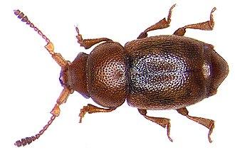 Kateretidae - Kateretes pedicularius