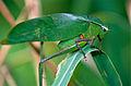 Katydid (Tettigoniidae) (14104587505).jpg