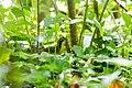 Kentucky warbler (26040433204).jpg