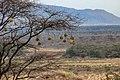 Kenya, Safari (31176764547).jpg