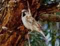 Kenya rufous sparrow.jpg