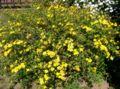 Kerria japonica1.jpg