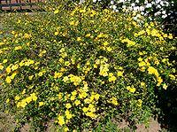 Kerria japonica1