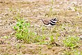 Killdeer (27778279370).jpg