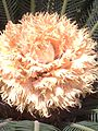 Kirkuk flower.jpg