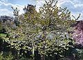 Kirschbaum Blütezeit Cherry Tree.jpg