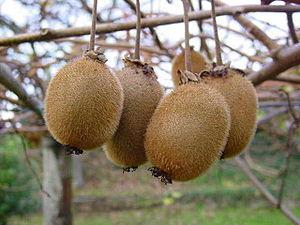 Actinidia deliciosa - Kiwifruit