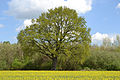 Klein Nordende Eche am Rapsfeld 01.jpg