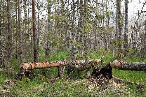Kobraste muudetud mets