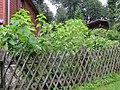 Korina 2014-08-26 Helianthus tuberosus 1.jpg