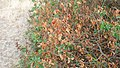 Korina 2018-09-01 Syringa vulgaris 1.jpg