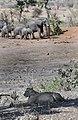 Kruger lion elephants JF.jpg
