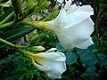 Kwiat magnolii - panoramio.jpg
