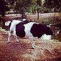 L'auroch est un peu moins rassurant que la vache (6041969150).jpg