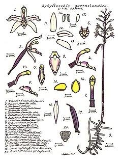 <i>Aphyllorchis queenslandica</i> species of plant