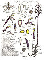 LR003 72dpi Aphyllorchis queenslandica.jpg