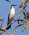 Lalage tricolor, Pilbara, Western Australia (7984921917).jpg