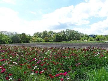 """Landschaftsschutzgebiet """"Gonsbachtal"""", Mainz-Gonsenheim- ein Feld voller Nalken.jpg"""