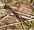 Large Red Damselfly. Pyrrhosoma nymphula. Male (25062933418).jpg