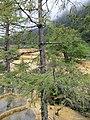 Larix potaninii, Huanglong 2.jpg