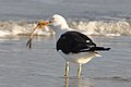 Larus dominicanus -Tavares, Rio Grande do Sul, Brazil -eating-8.jpg