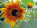 Late Summer Sunflower 2 (11488575174).jpg