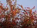 Late afternoon Sunlight on Crab Apples .Autumn 2013 - Flickr - gailhampshire.jpg