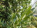 Laurus nobilis (6).JPG