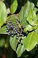 Laurustinus (Viburnum tinus) fruits (45419543872).jpg