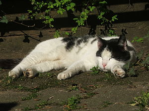Lazy Cat in the sun at Tum Bur in Hattingen