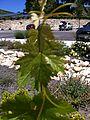 Leaf of Picpoul blanc.jpg
