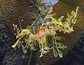Leafy Seadragon.jpg