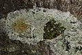 Lecidella elaeochroma (39673945765).jpg