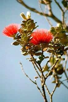 Lehua blossoms (ʻōhiʻa lehua), Hawaiʻi