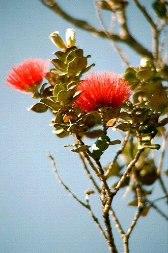 Metrosideros polymorpha - Image: Lehua blossoms hawaii 01