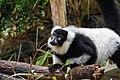 Lemur (25081989477).jpg